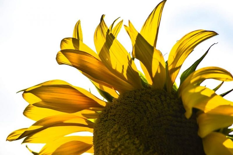 80+ Awesome Sunflower Wallpaper Pictures For Everyone