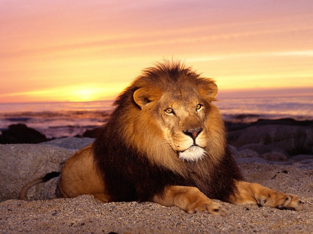 100+ Mesmerizing and Heroitic Lion animal wallpaper ideas