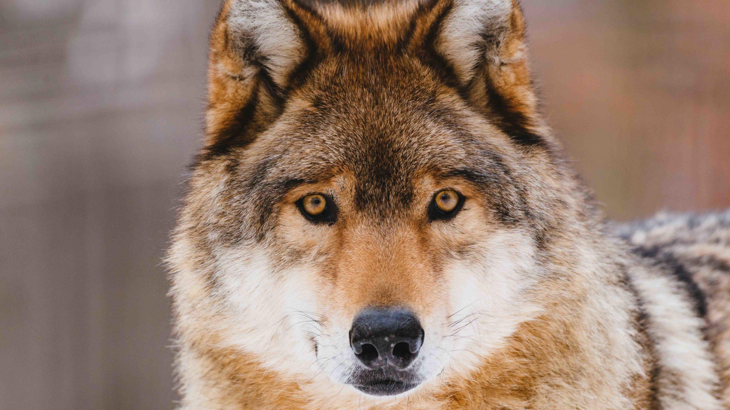100+ Wolf Wallpaper Ideas that amaze You