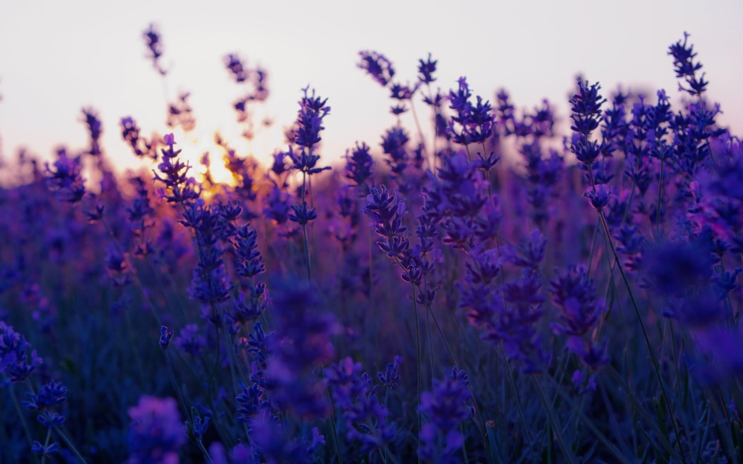 Lavender Wallpaper – A Decorative Wallpaper