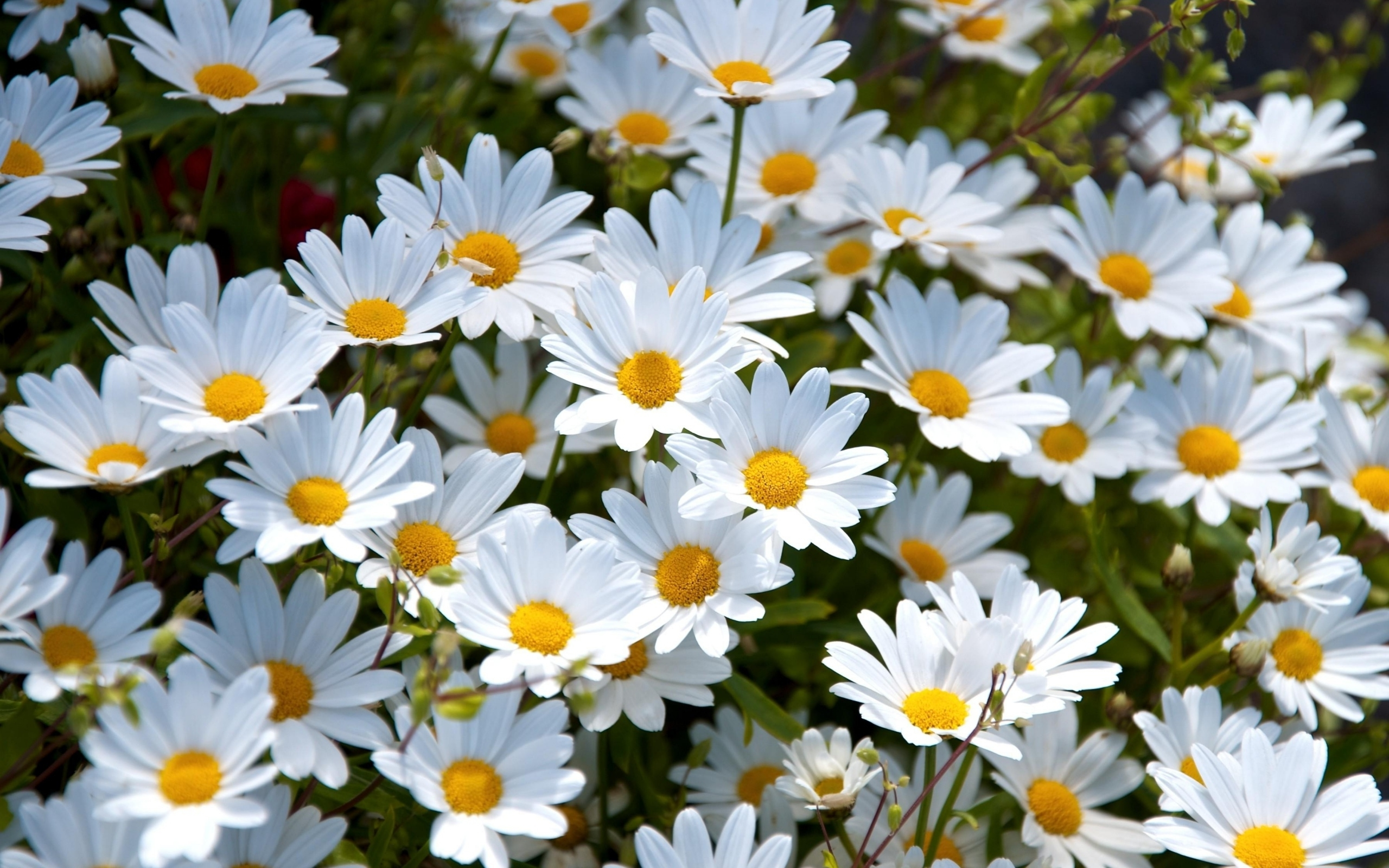 Create Your Own Personalized Daisy Wallpaper