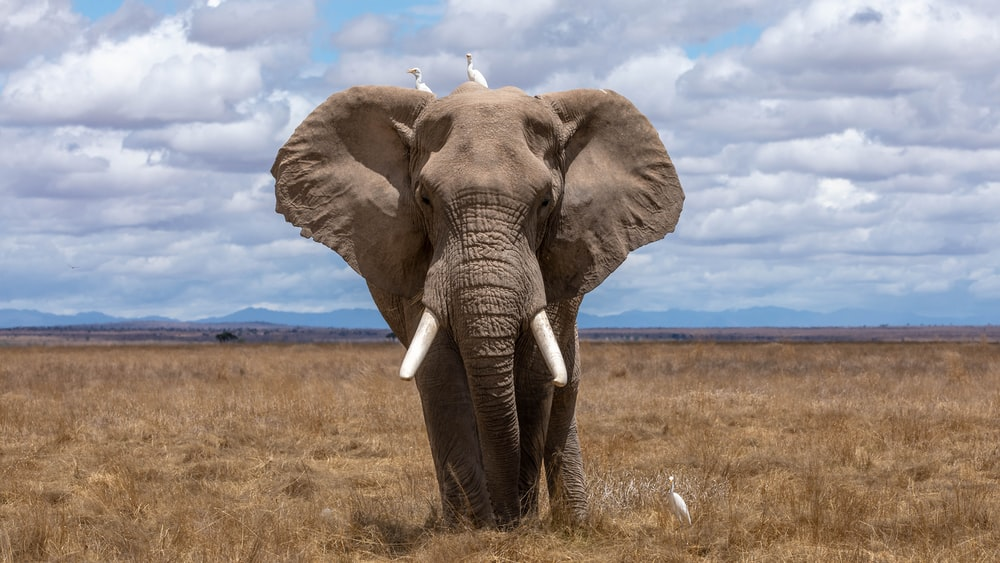 Download Great Quality Elephant Free Wallpaper