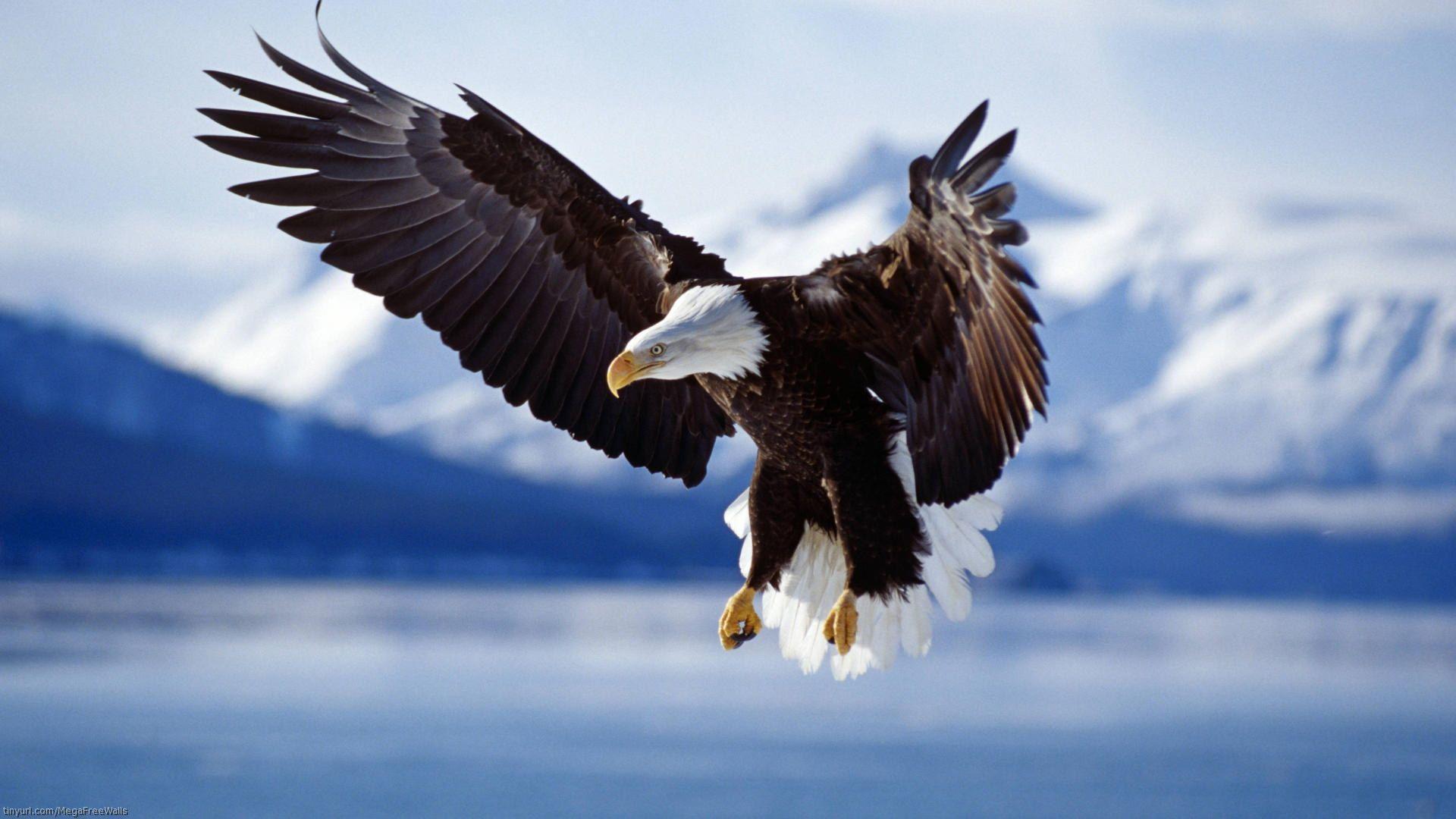 Eagle Wallpaper Photo Choices For Your Desktop