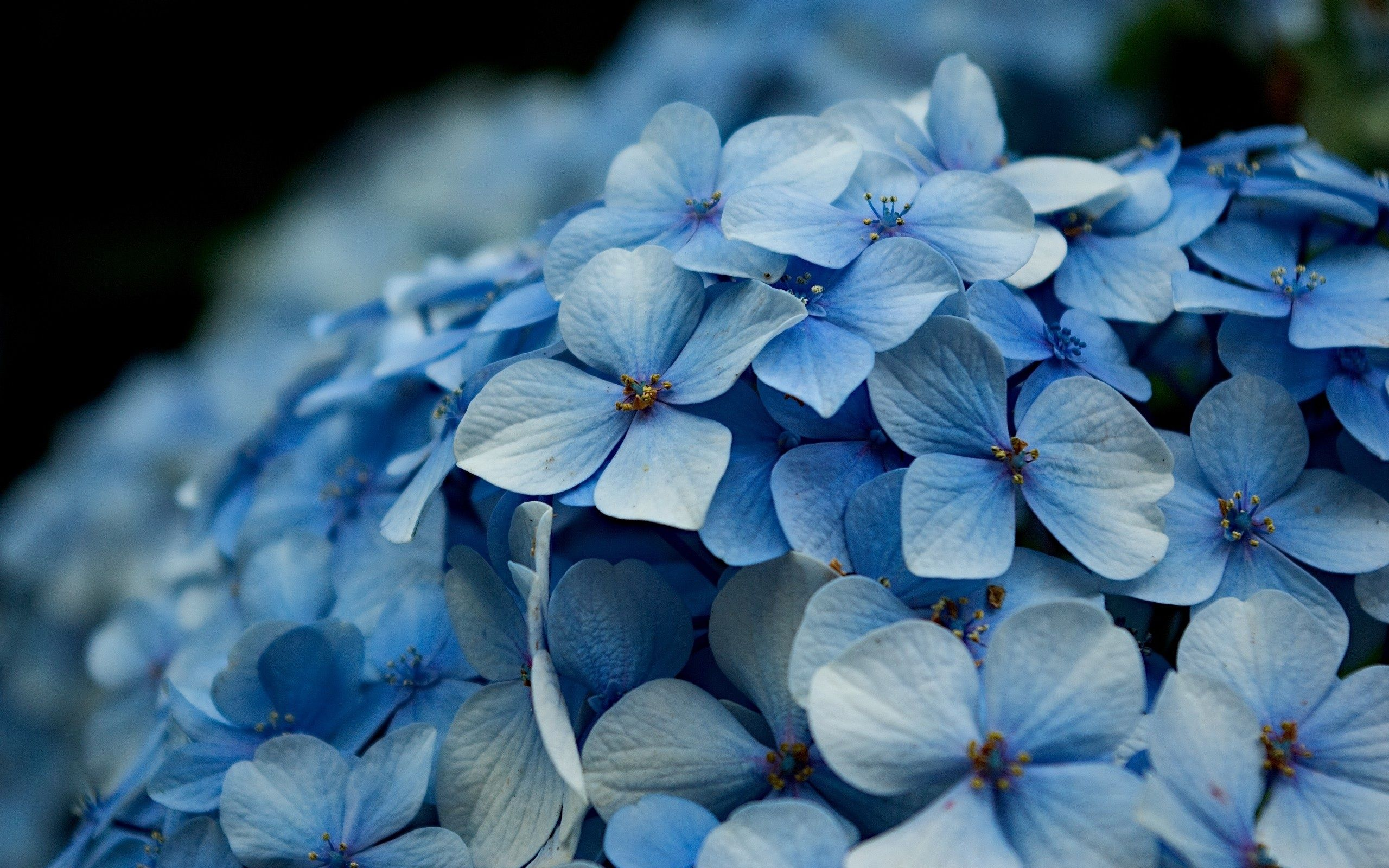 Hydrangea background – A Wonderful Picture design For Your Computer