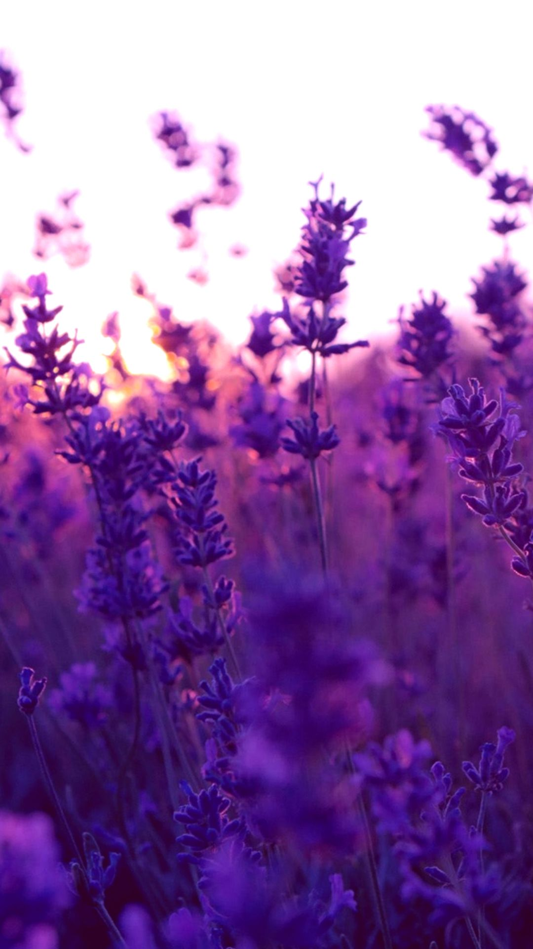How to Add Lavender iPhone Wallpaper