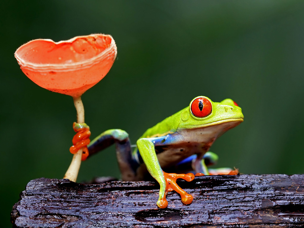 What is Frog wallpaper?