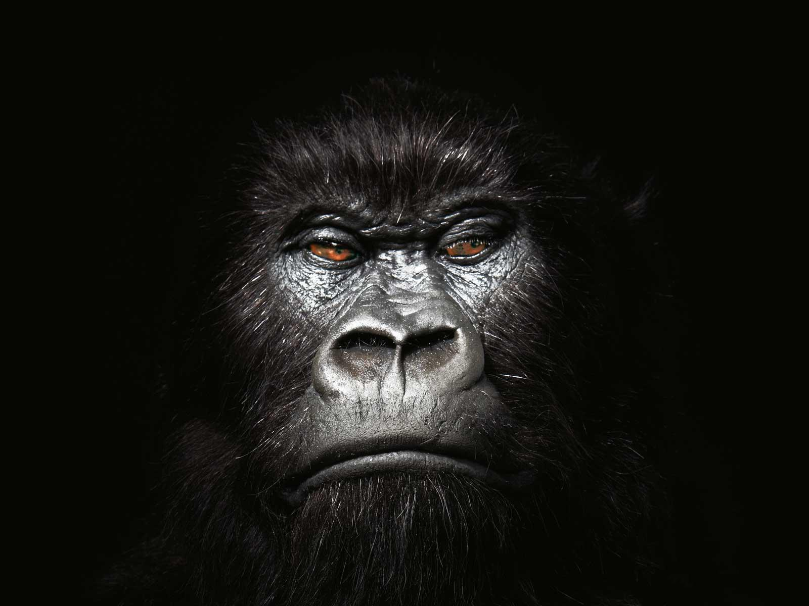 Gorilla background – The Most Popular Picture design on the Internet