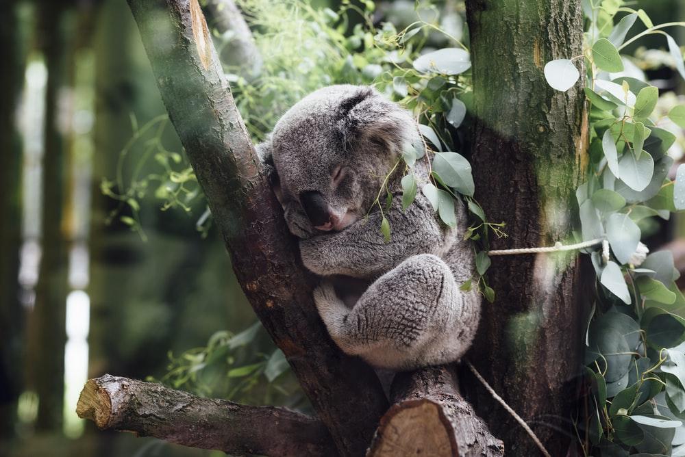 Koala Picture designs Is Inspiring Picture design Ideas