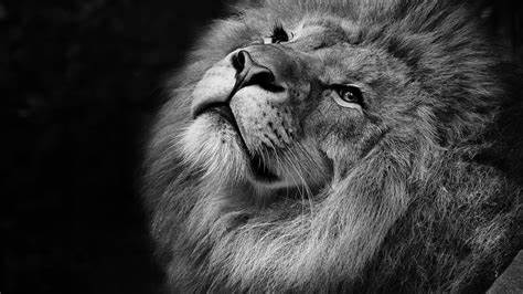 Free High Definition Lion Wallpaper hd Background for Your Computer