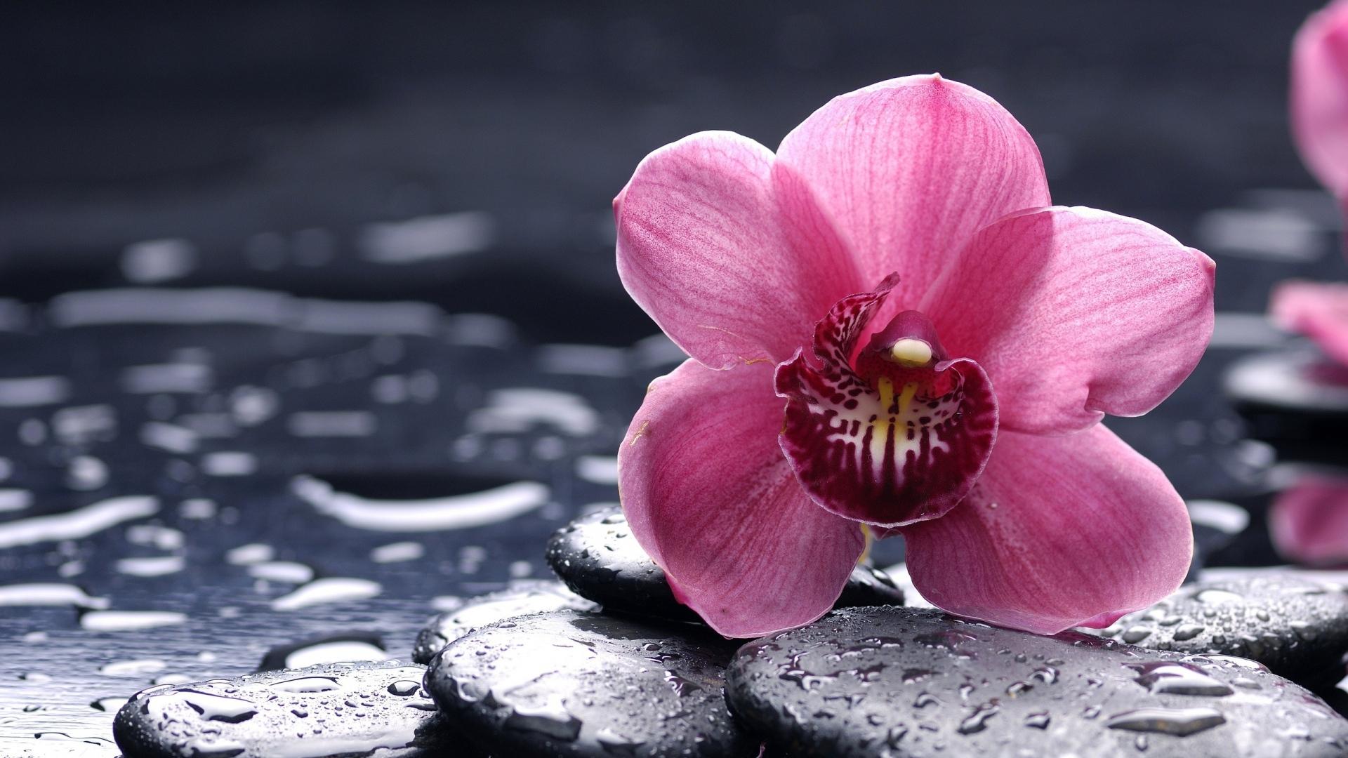 Beautiful Orchid Wallpaper