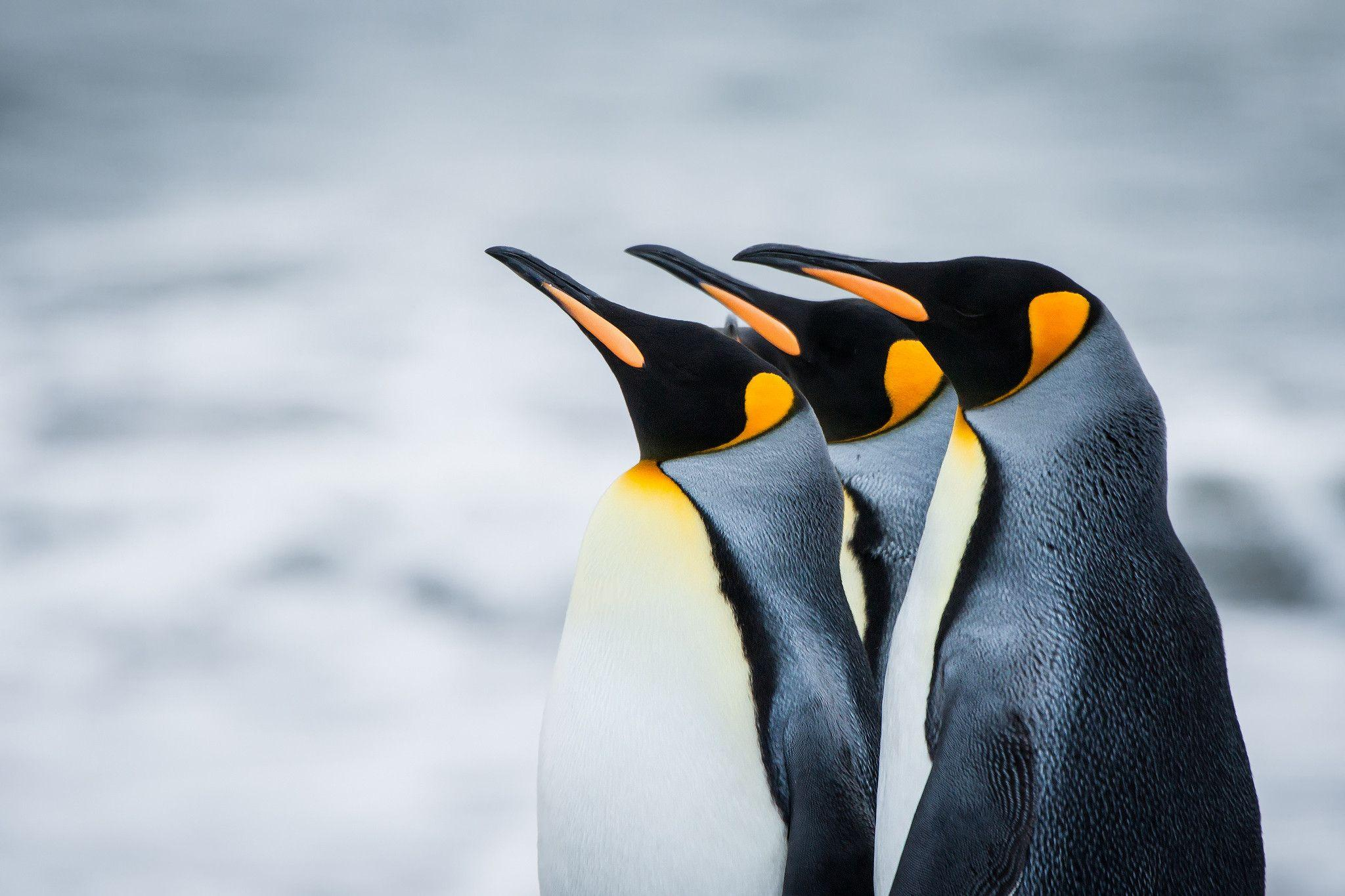 Downloadable P penguin Background for Your Desktop