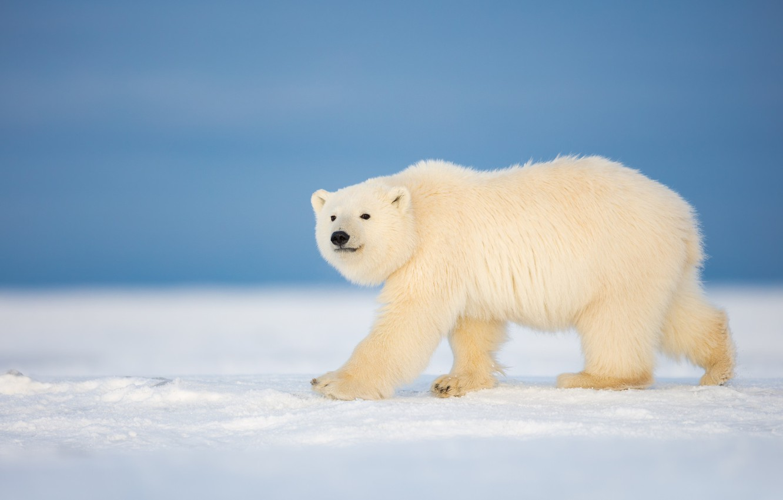 Polar Bear Wallpaper Picture designs A Beautiful Look