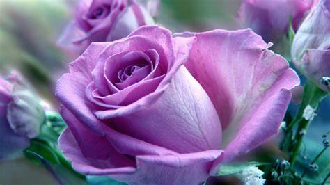 Purple Rose Picture design For Home Decorating