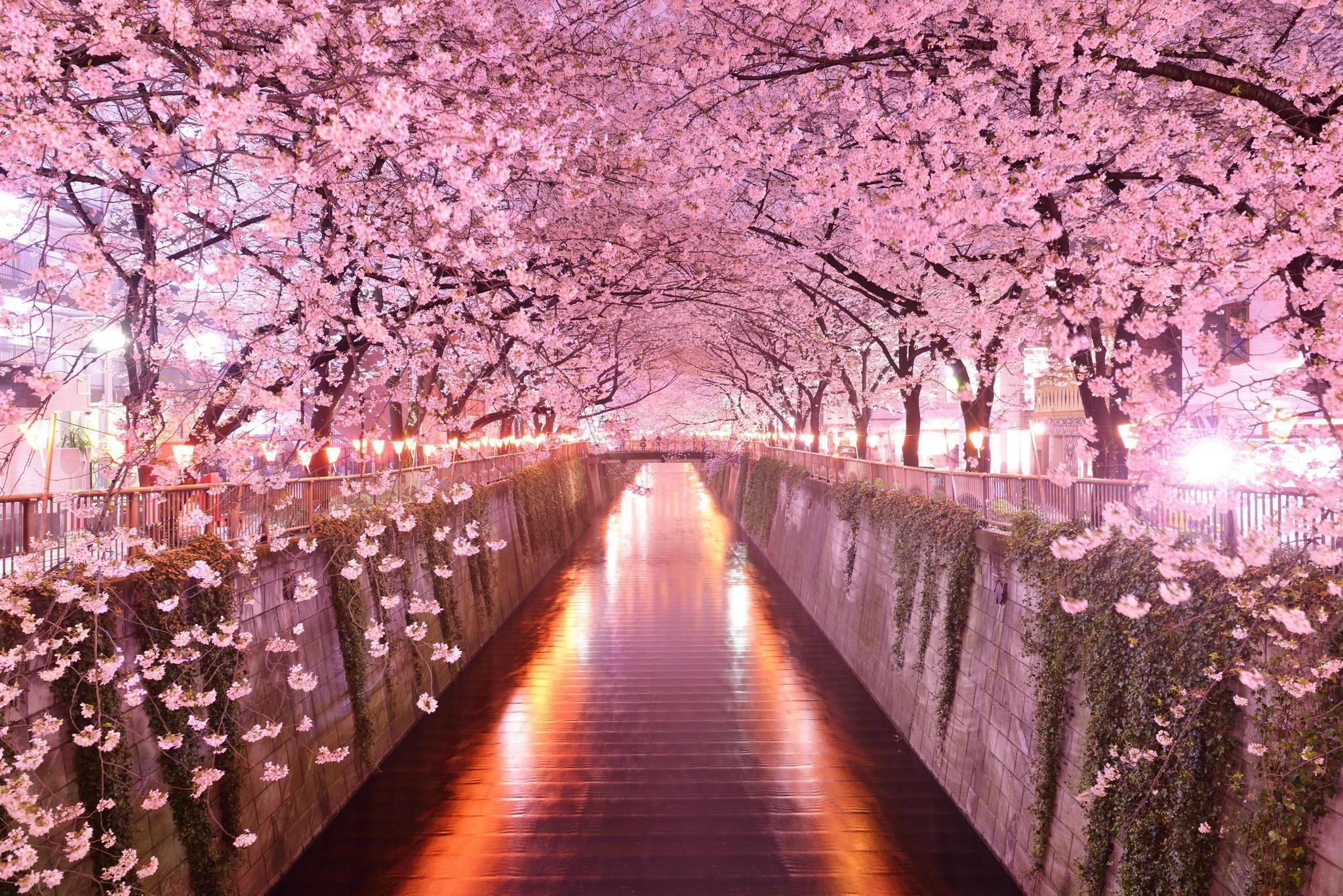 Why Should You Download and Try a High Quality Sakura Picture design?