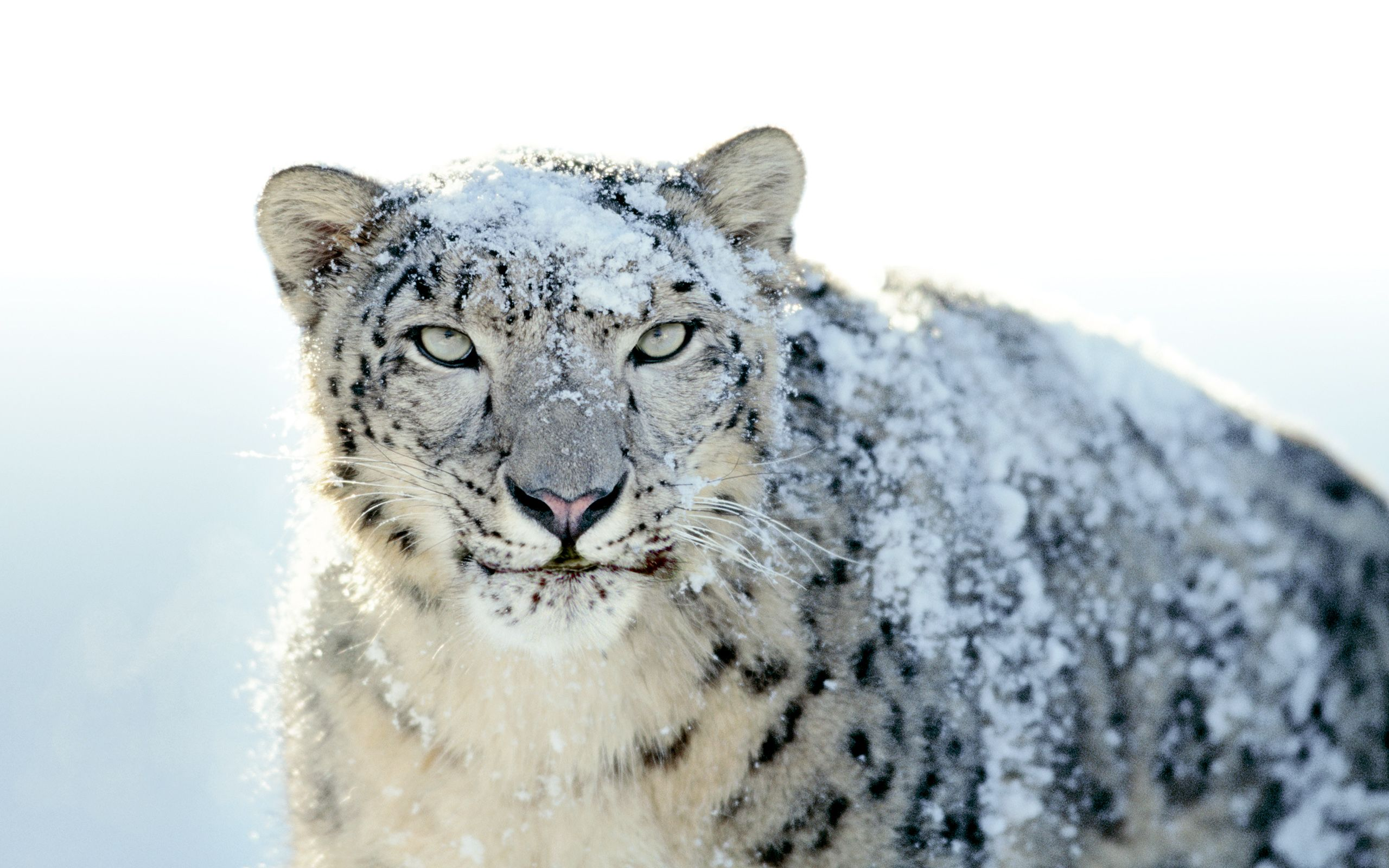 Snow Leopard Wallpaper – The background That Can Enhance