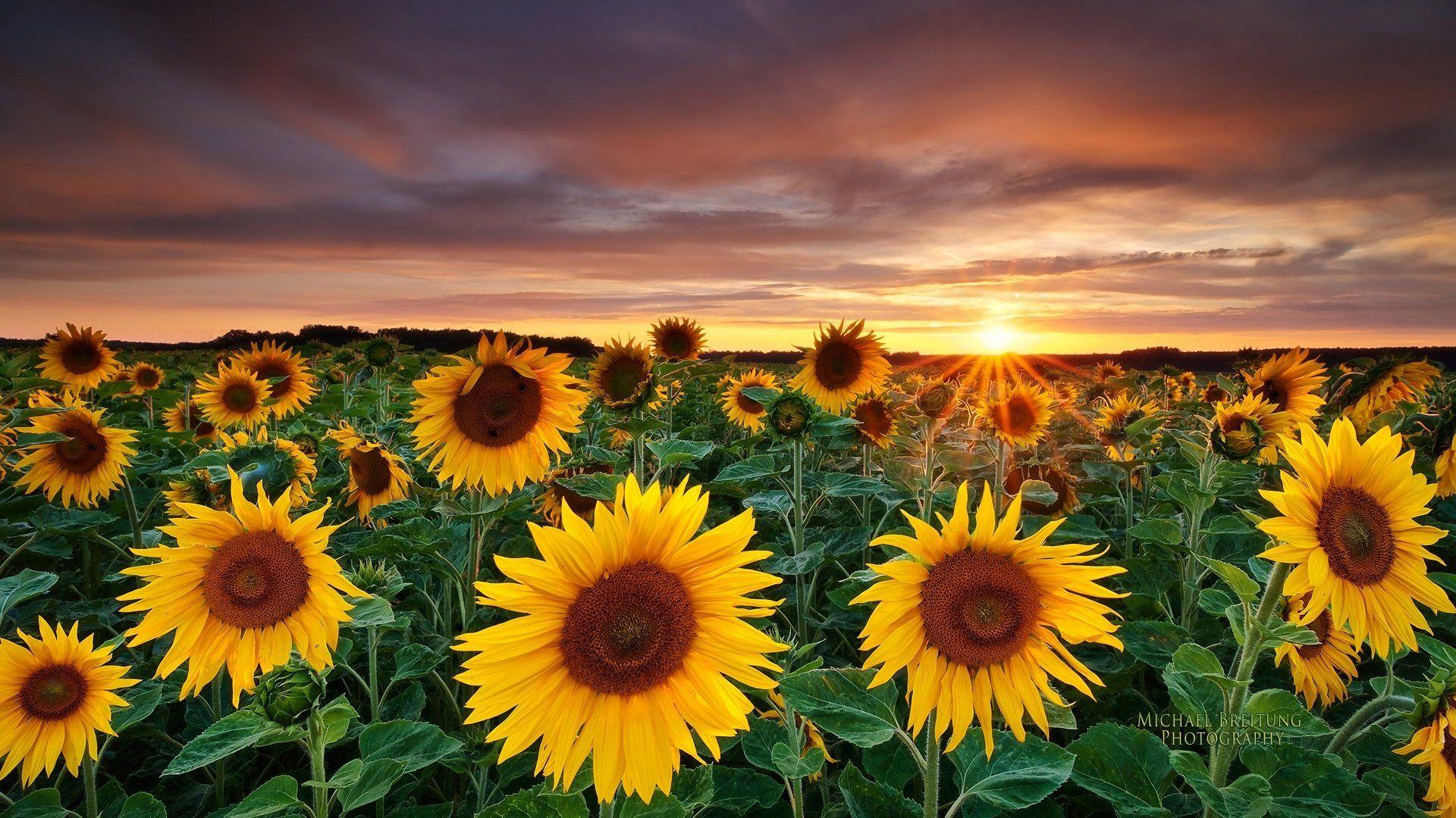 Beautiful Sunflower Desktop Wallpaper