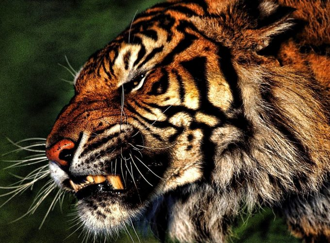Add Some Personality to Your iPhone With Cool Tiger Wallpaper
