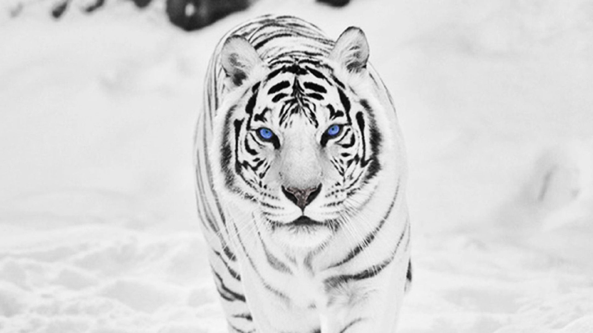 White Tiger Background for Your iPhone 6 Plus