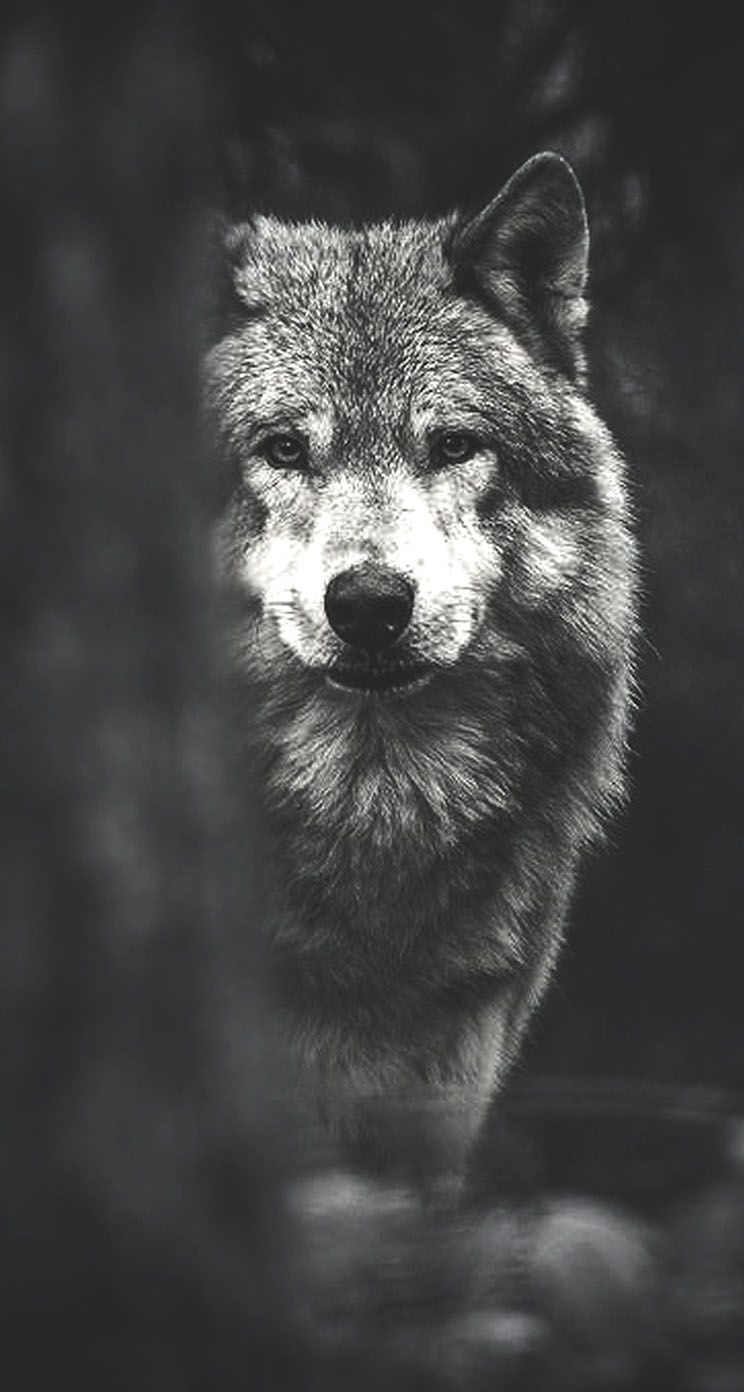 Wolf Background for Your iPhone – Makes Your Phone Look Like a Wolf
