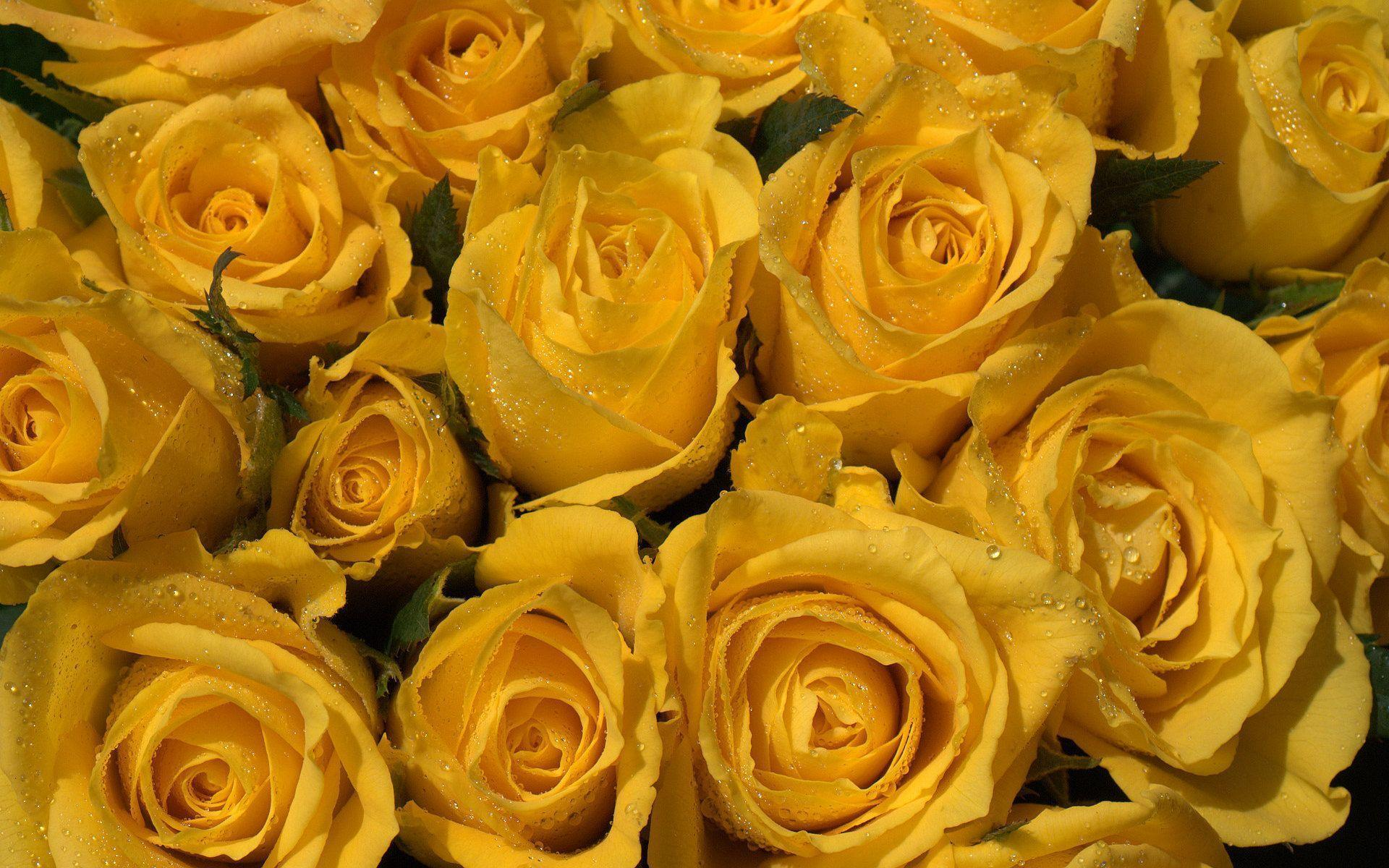 Add Some Freshness to Your Room With Yellow Rose Wallpaper Picture designs