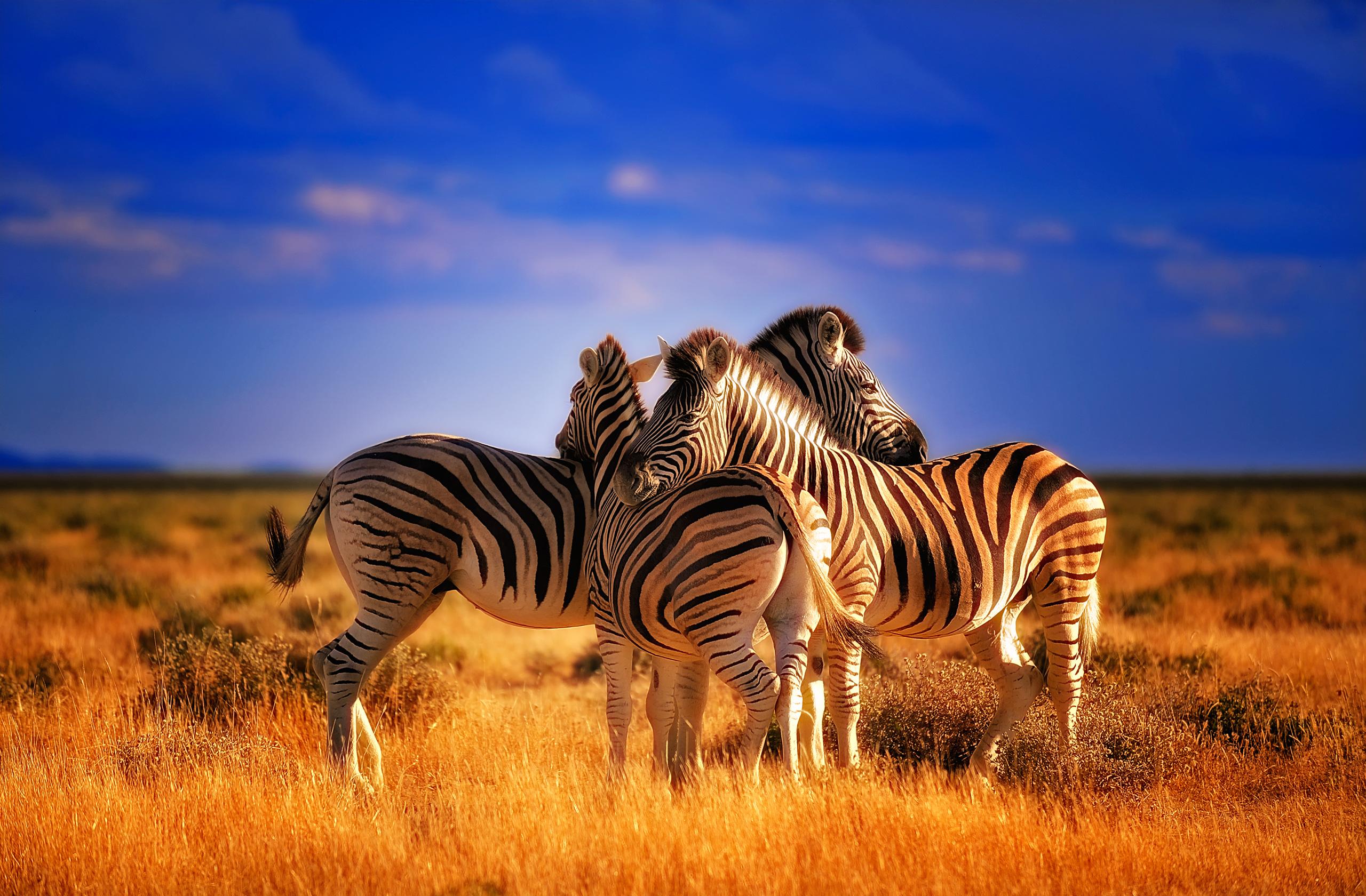 Top 5 Desktop Zebra Wallpaper Varieties